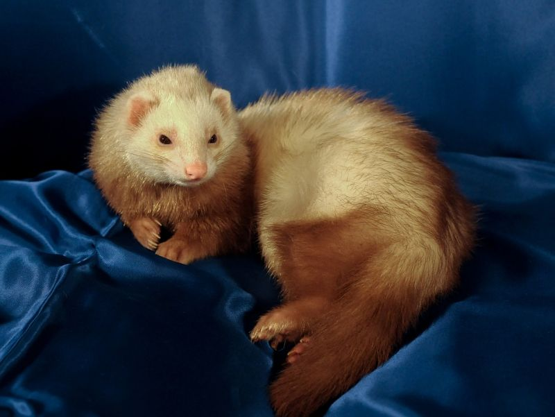 Pet ferret ate up baby's fingers before family realised the incident