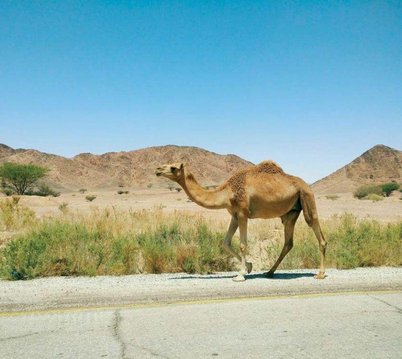 Wild camel in Dana
