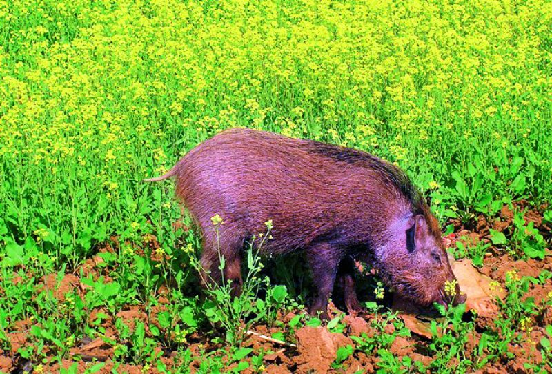 A boar feeds in another farm.