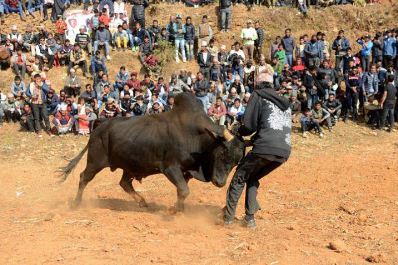 festival of buffalo fights