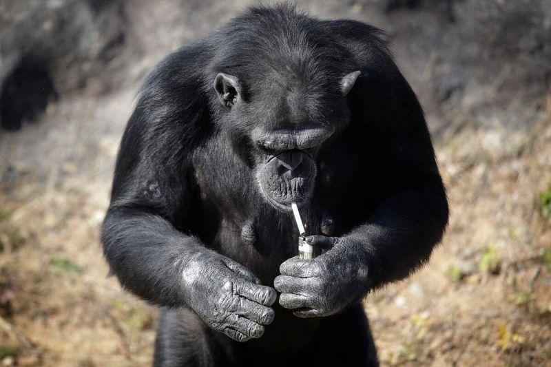 The chimp is named Azalea