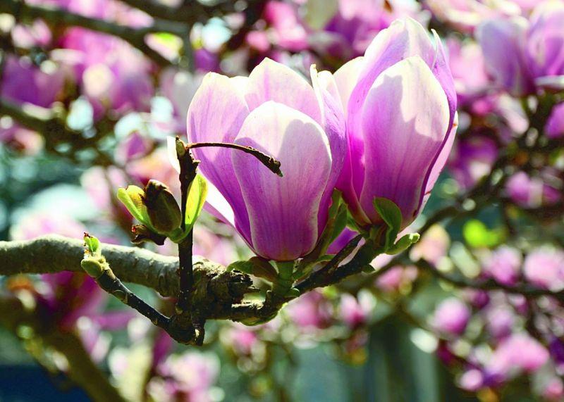 Magnolias in Mussorie