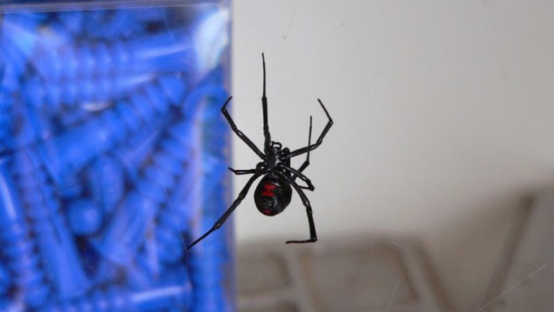 Mark Voegel was killed by his black widow spider following which the rest of his exotic pets ate him up