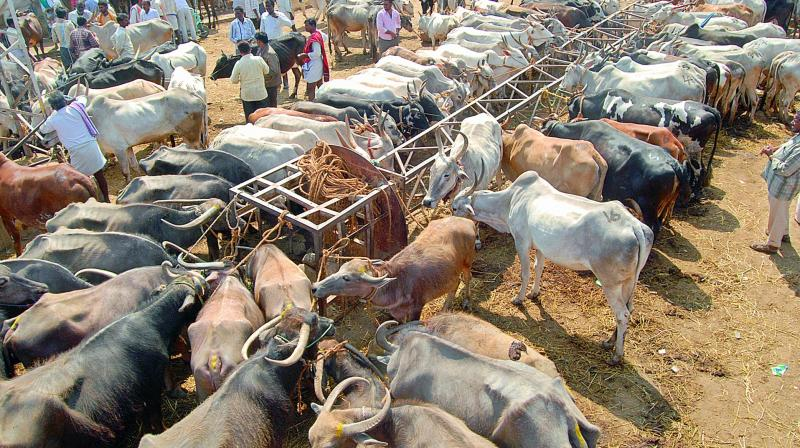 Union Govt. bans sale of cattle in animal market for slaughter