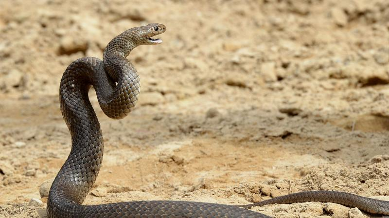 Venomous snake bites man, man bites wife so they could die together