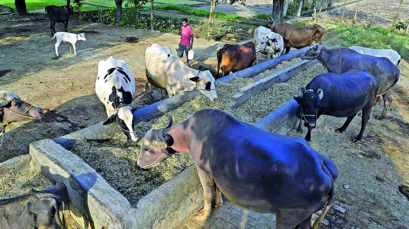 Cow slaughter in UP to be punishable under NSA, Gangsters Act