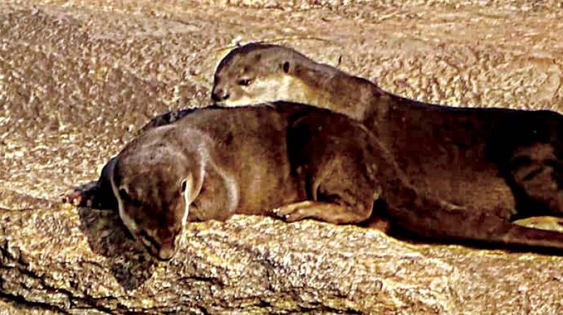 Otters were once a target of poachers who traded in hides