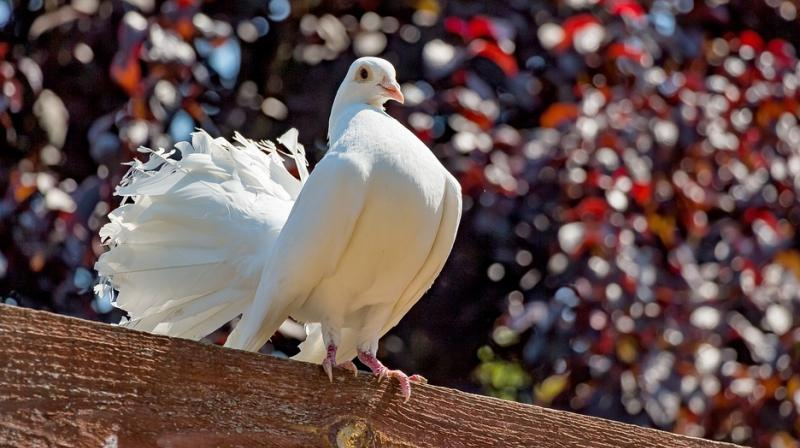 A bus conductor from Tamil Nadu was put through questioning and issued a memo for allowing a pigeon to ride in his bus (Photo: Pixabay)