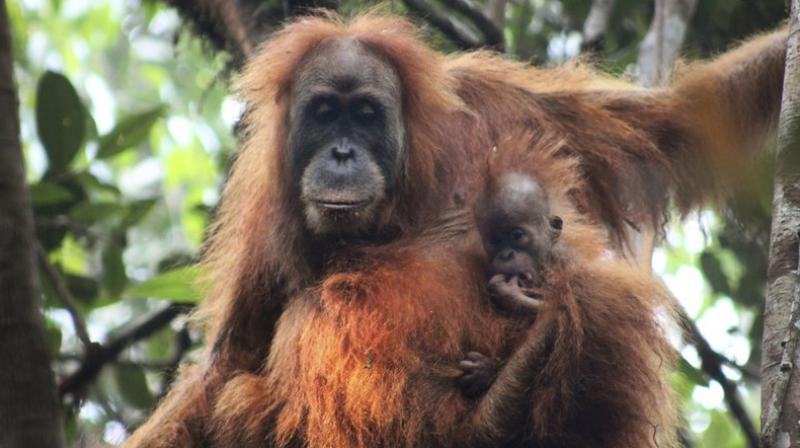 A study says there are no more than 800 of the primates, which researchers named Pongo tapanuliensis, making it the most endangered great ape species. (Photo credit: AP)
