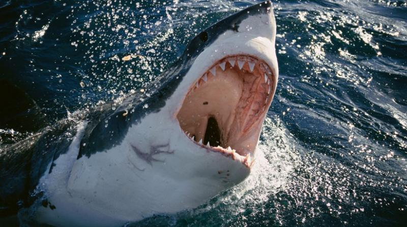 There have been 16 shark encounters and attacks off the island continent's vast coastline this year (Photo: AFP)
