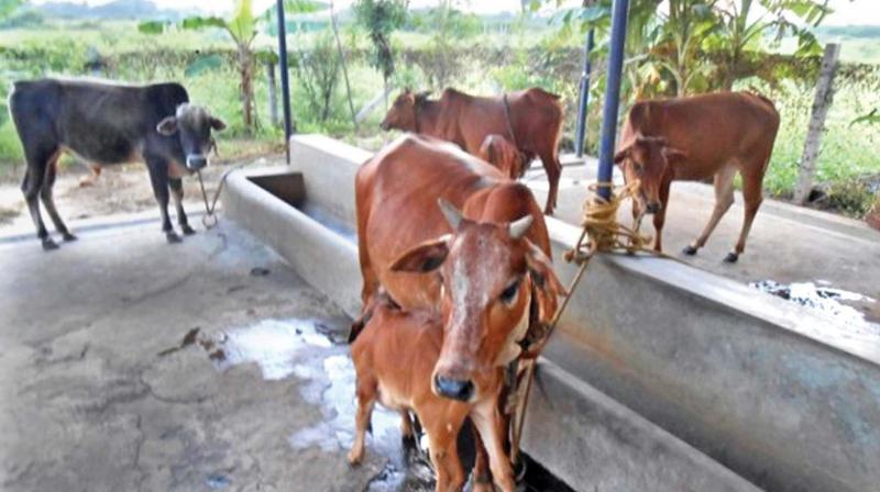 Cows sheltered at the Dhyan foundation's Chennai goshala.  (Photo: DC)