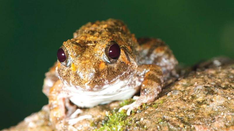 Manoharan's Burrowing Frog