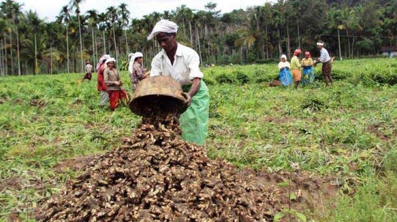 Kerala: Ginger farmers head for 'greener' Chhattisgarh