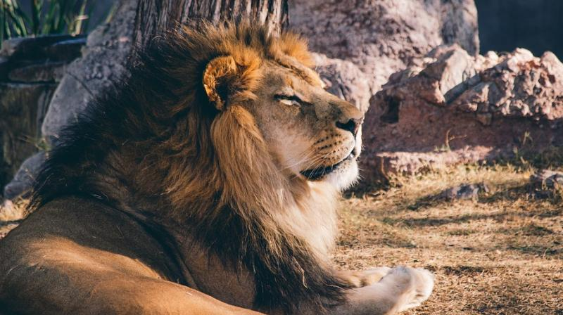 Kenya male lions seen in intimate act; bonding, experts say. (Photo: Pixabay)