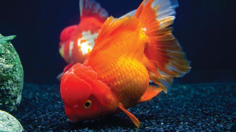 India s first ornamental fish tech park in chennai soon for Ornamental fish