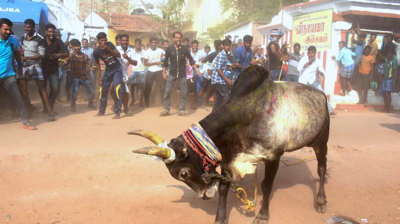 Jallikattu protests: Will not interfere at this stage, says Madras High Court