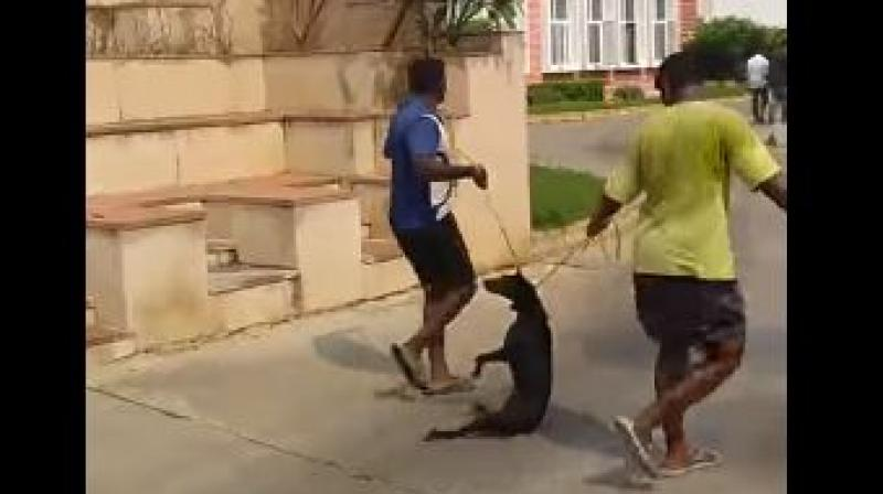 While, the men holding the nooses show no mercy even though the dog, clearly suffocating, thrashes around. (Photo: Screengrab | Youtube)