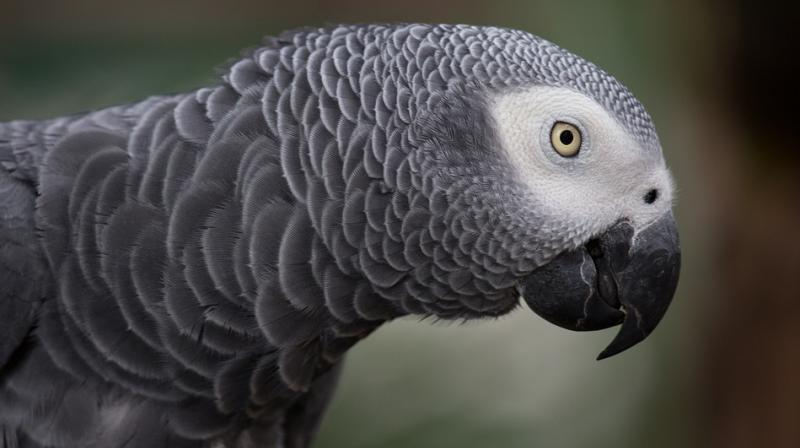 Parrot Who Witnessed Murder: