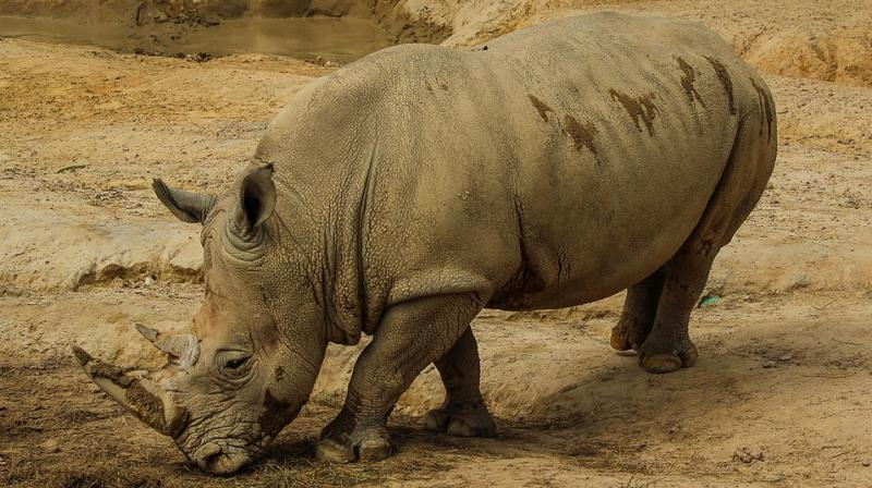 Online rhino auction to go ahead on Monday