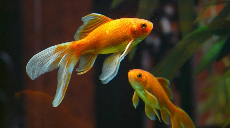 A new study has revealed that goldfish produce alcohol to survive harsh winters beneath frozen lakes, which naturally makes them 'lose their inhibition.' (Photo: Pixabay)