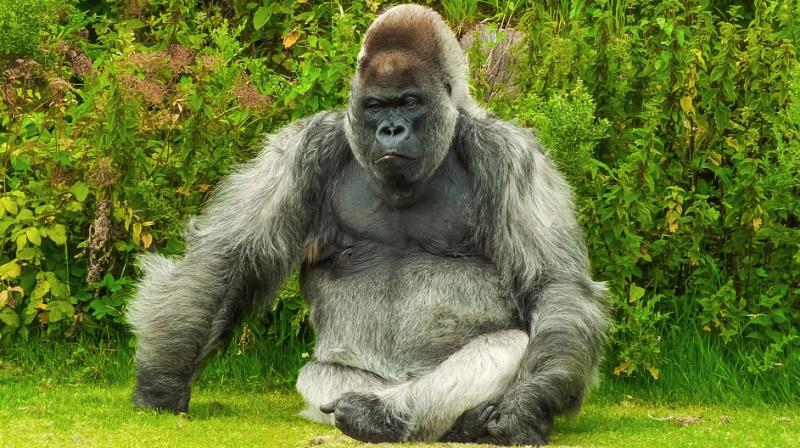 Harambe's grandmother Josephine euthanized by Miami zoo at age 49