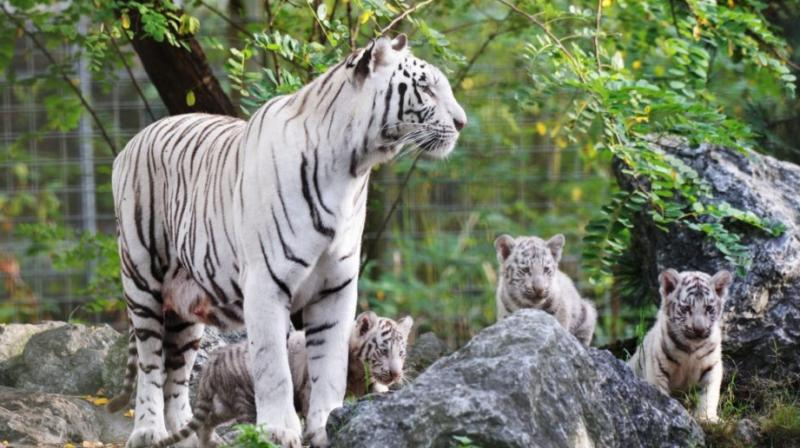 Four tiger cubs, which were born at Arignar Anna Zoological Park at Vandalur last week died with bite marks, confirmed park officials.