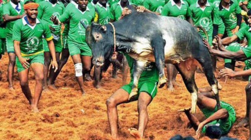 No Jalikattu this Pongal, SC refuses to give verdict before Saturday