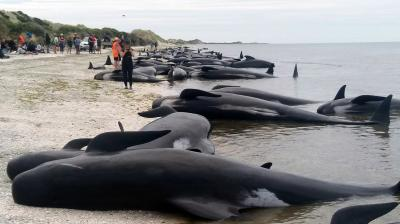 More than 400 whales were stranded on a New Zealand beach Friday, with most of them dying quickly as frustrated volunteers desperately raced to save the survivors. (Photo: AP)