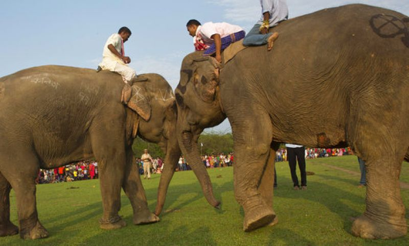 Asian Elephants during the 'Suwori festival' as part of the Rongali Bihu celebrations in Guwahati.  (Photo: AP)