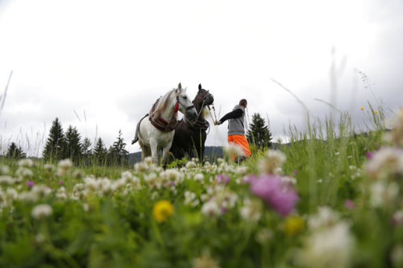 A Bosnian man prepares his horses to pull logs up a hill during a competition in the town of Sokolac, Bosnia, on Sunday, June 18, 2017.  (Photo: AP)