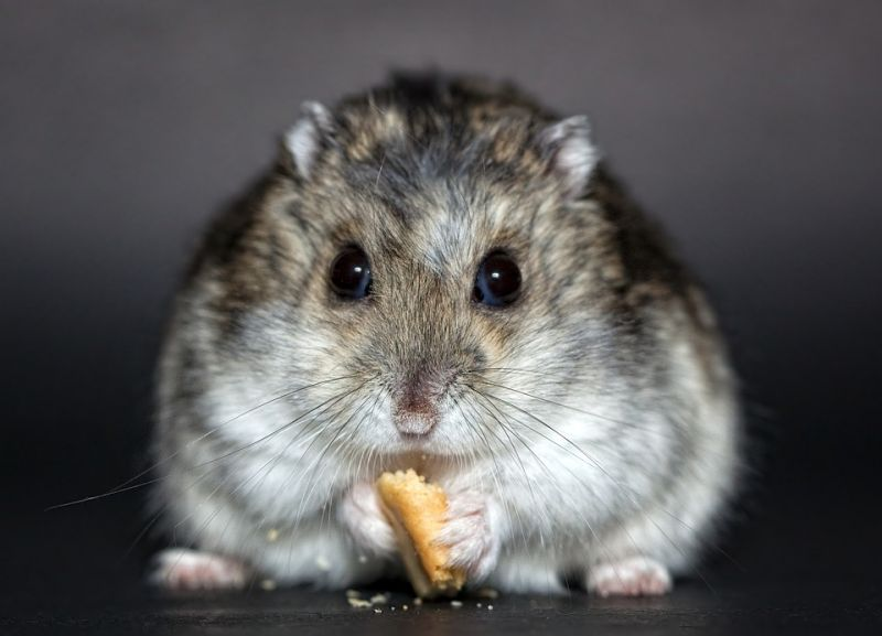 Pet hamster scavanged body of owner and used his skin and bones to create nest