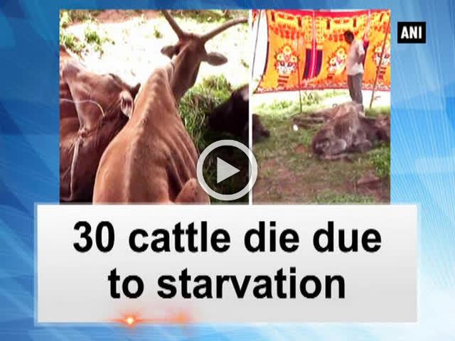 30 cattle die due to starvation