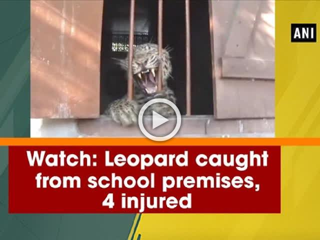 Watch: Leopard caught from school premises, 4 injured