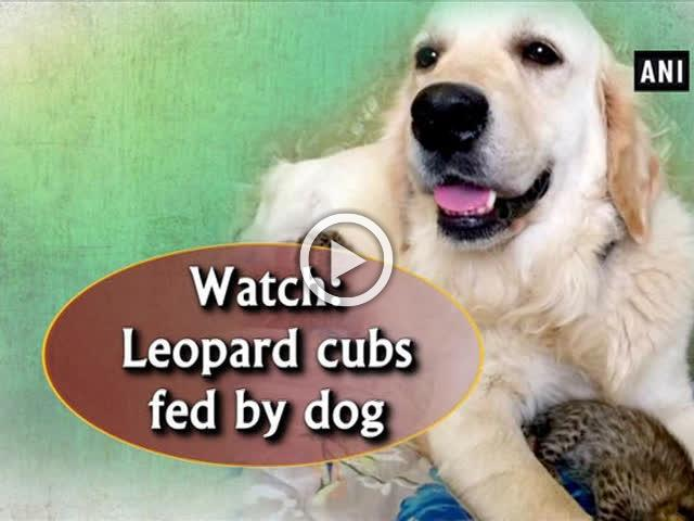 Watch: Leopard cubs fed by dog